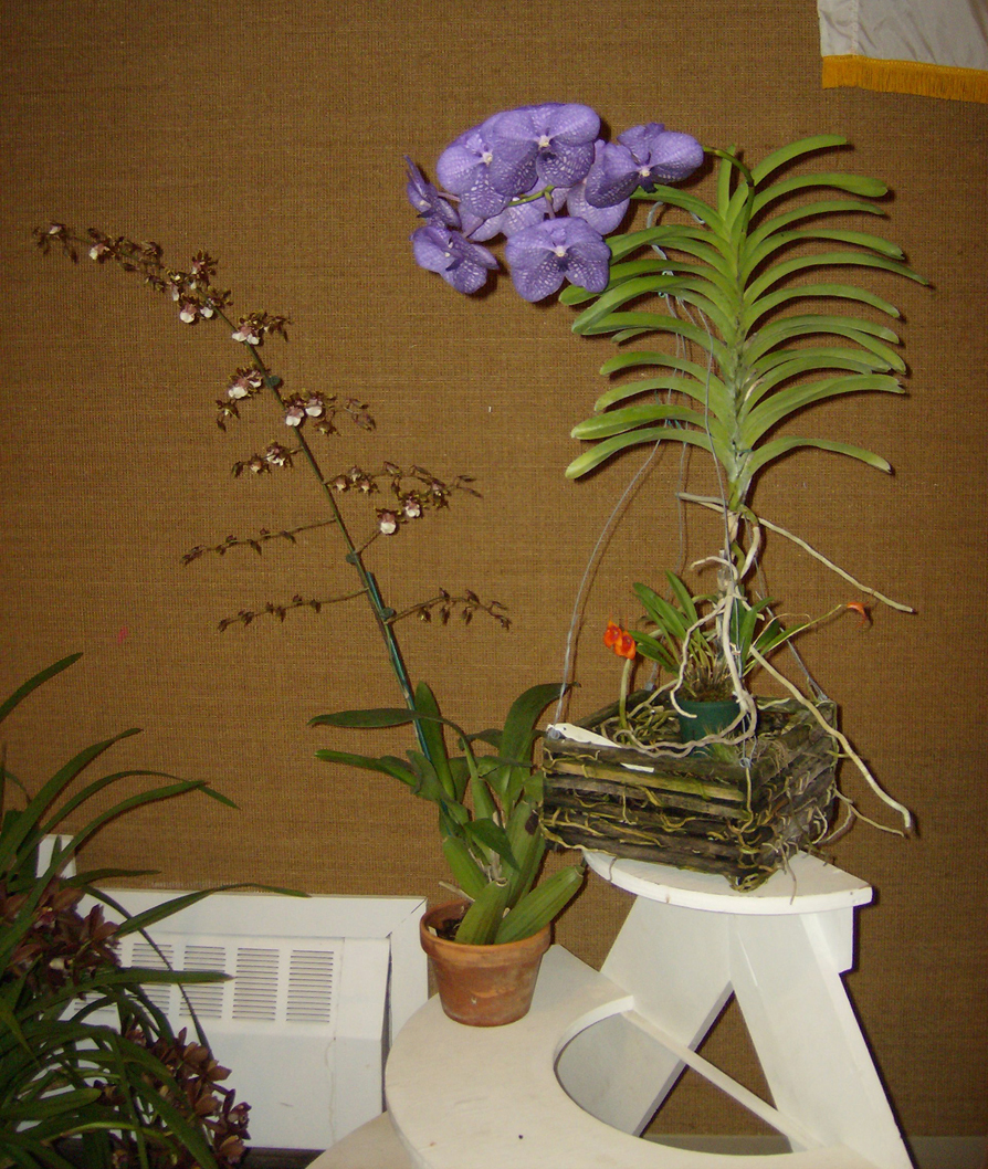 More show table plants, including Vanda 'Tokyo Blue