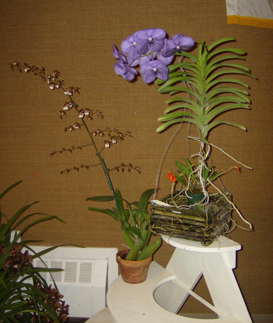 More show table plants, including Vanda 'Tokyo Blue